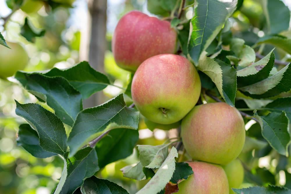 Bioäpfel